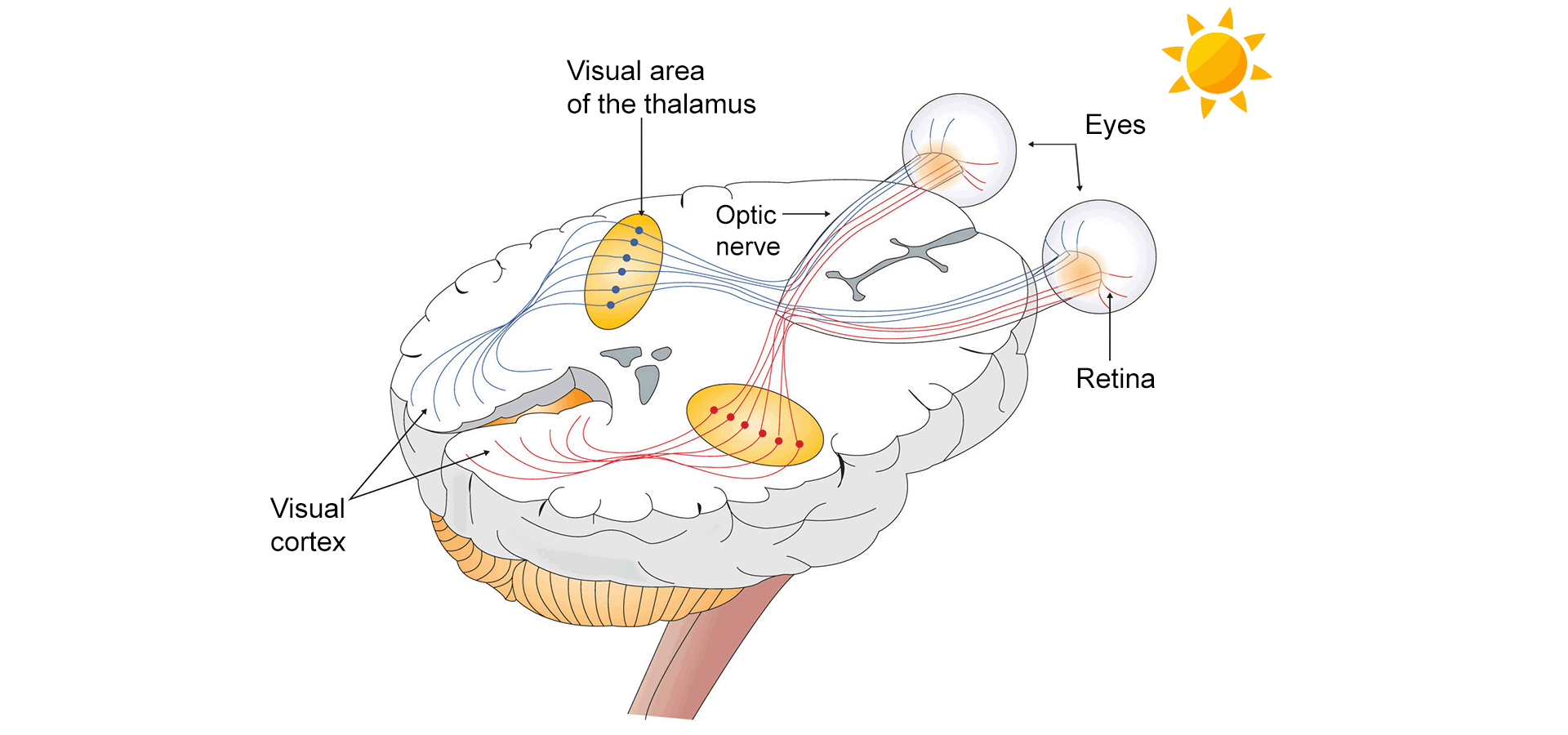Optic nerves connecting human eyes to the brain.